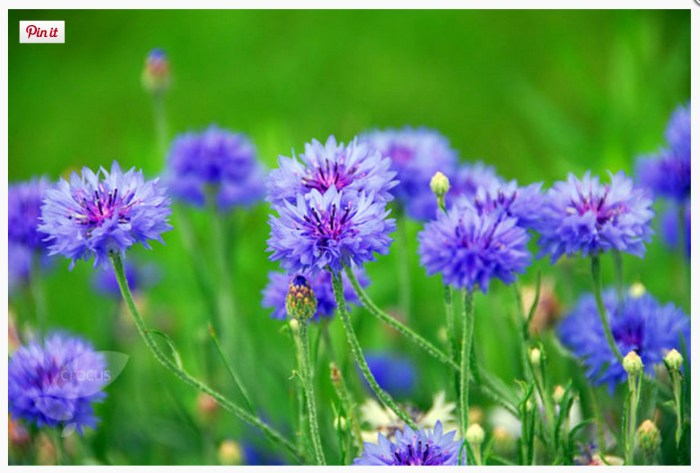 Cornflowers (www.crocus.co.uk)