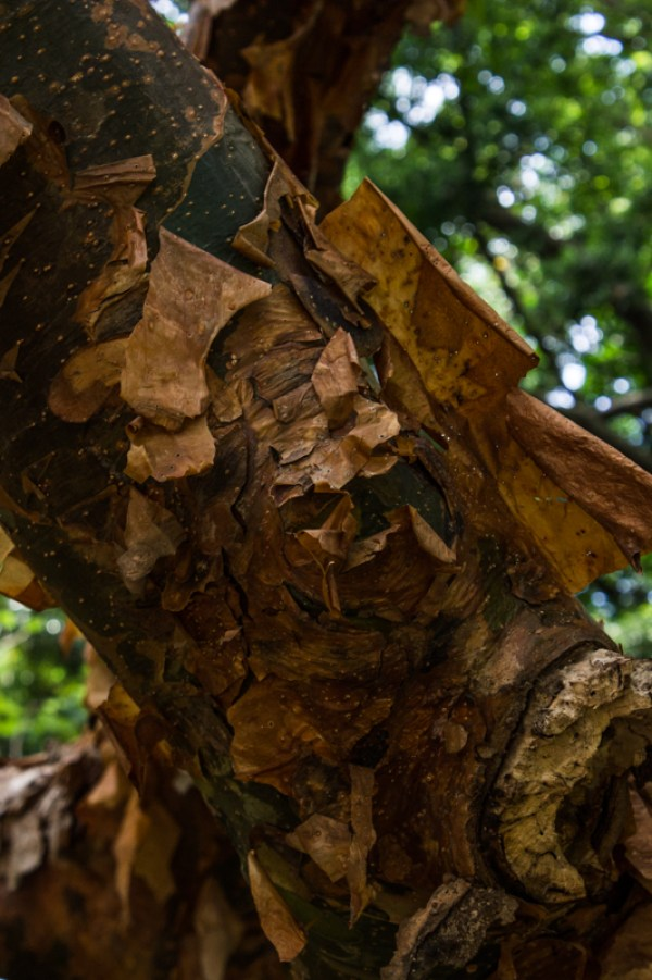 Copper Stemmed Corkwood