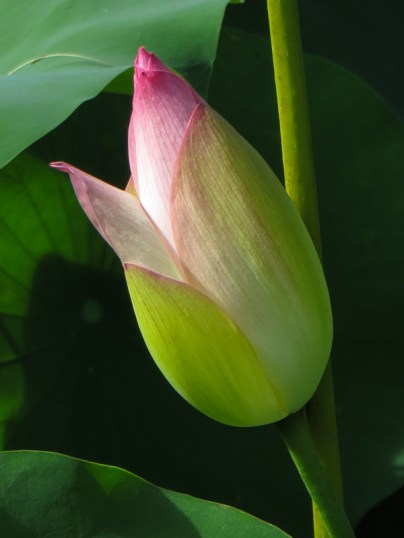 Lotus flowers at the lake, Durban Botanical Gardens