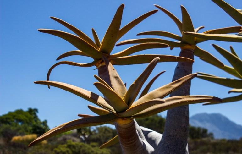 Quiver Trees in the Karoo Desert Botanic Gardens