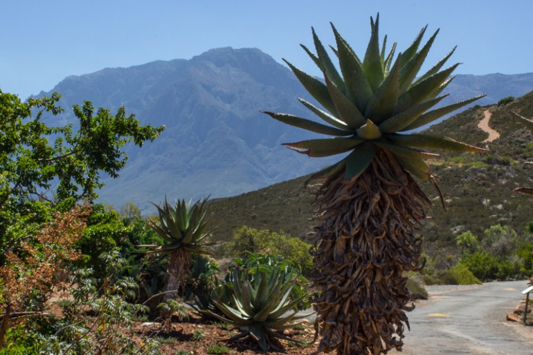 The Karoo Desert Botanic Gardens, overlooked by the Hex River Mountains