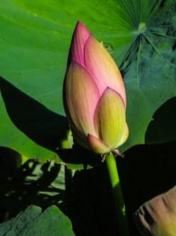 Lotus flower in Stellenbosch Botanic Gardens