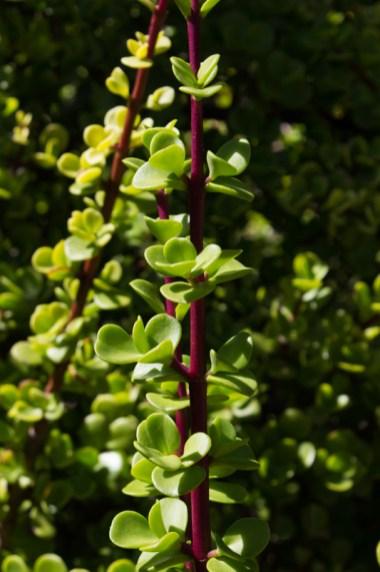 Succulents in Kirstenbosch Botanic Gardens