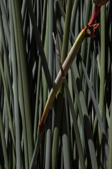 Grasses in Kirstenbosch Botanic Gardens