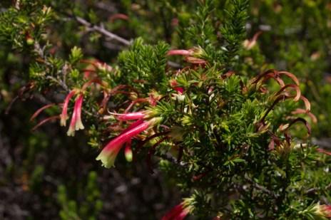 Heathers in Kirstenbosch Botanic Gardens