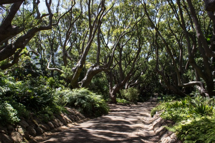 The Avenue of Camphor Trees at Kirstenbosch Botanic Gardens