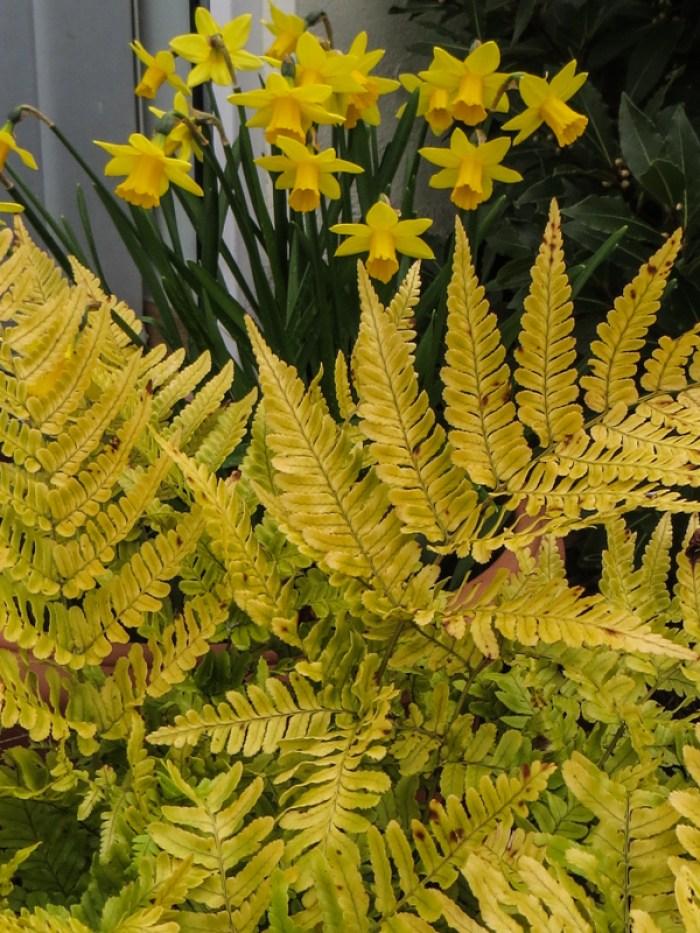 Dryopteris Erythrosora & miniature daffodils