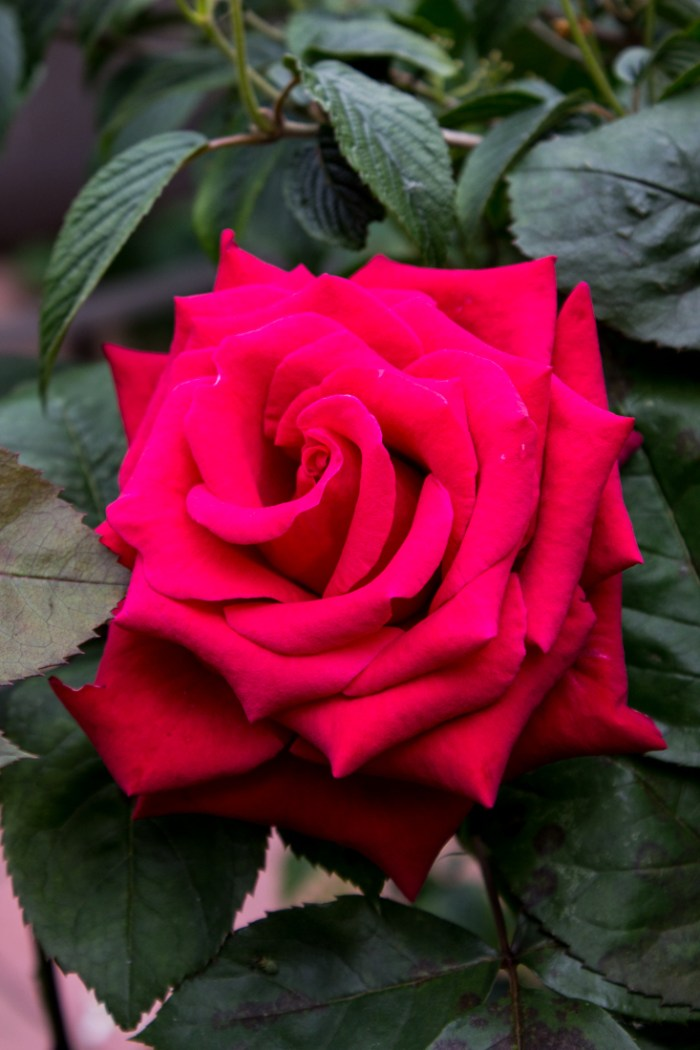 Red rose at Woollen House