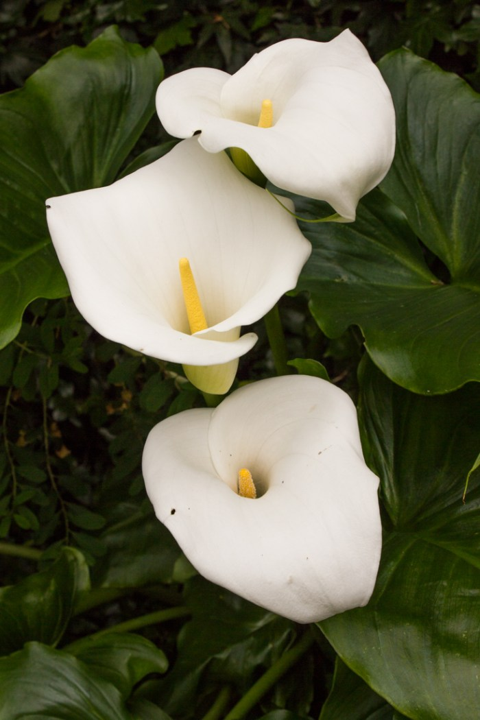 Arum Lilies at Woollen House