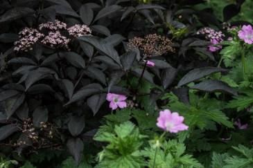 Geraniums & black elder