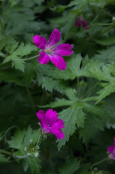 Geraniums in Gledhow Gardens