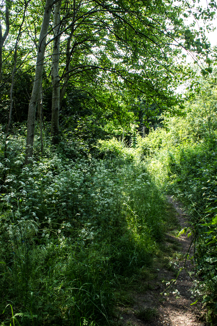 Cow Parsley in the woods at Stave Hill