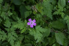 A variety of geranium?