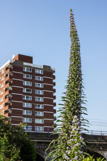 Echium in Cable Street Community Gardens