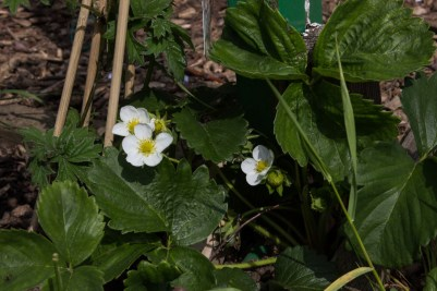 Strawberries at Winterton House