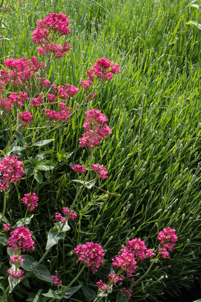 Valerian and Lavender at Stave Hill