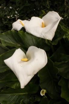 Arum LIlies inCable Street Community Gardens