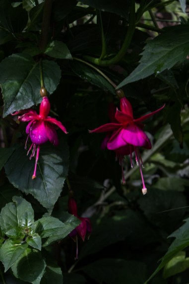 Fuchsia at Winterton House