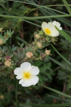 Potentilla 'Primrose Beauty'
