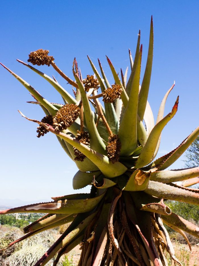 Aloes in the Karoo National Botanical Gardens, Worcester