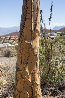 The Quiver Tree, Karoo National Botanical Gardens, Worcester