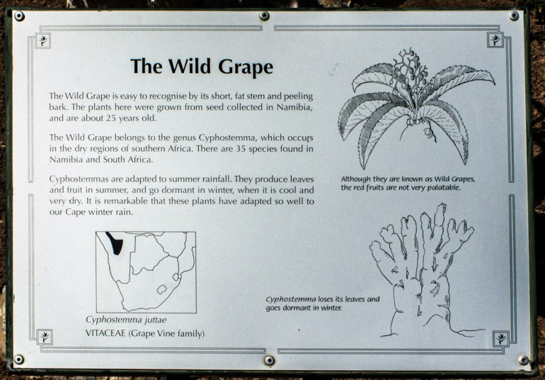 Wild grape, Karoo National Botanic Gardens, Worcester