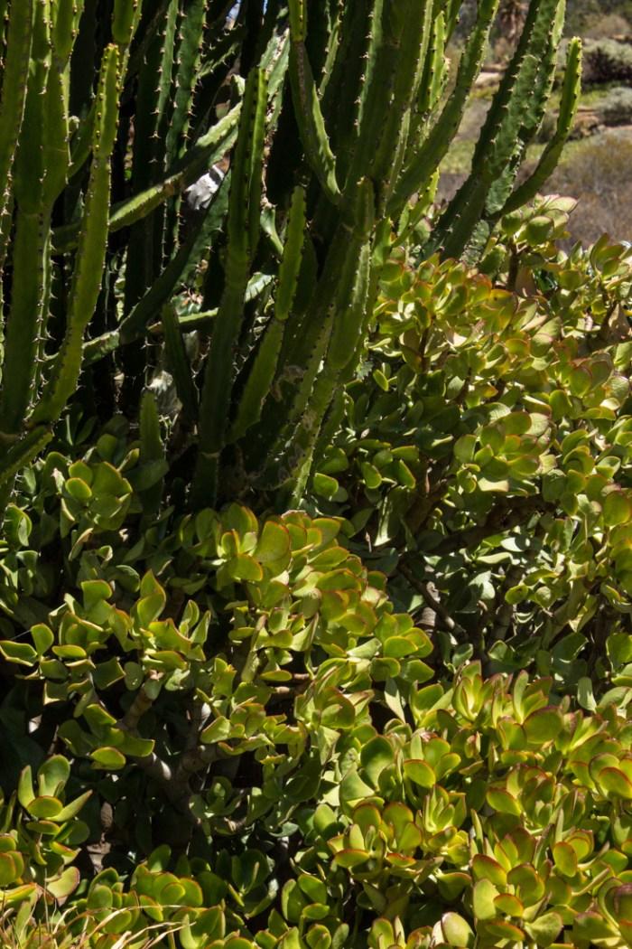 Euphorbias and spekboom