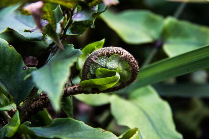 Unfolding Holly fern, Cyrtomium