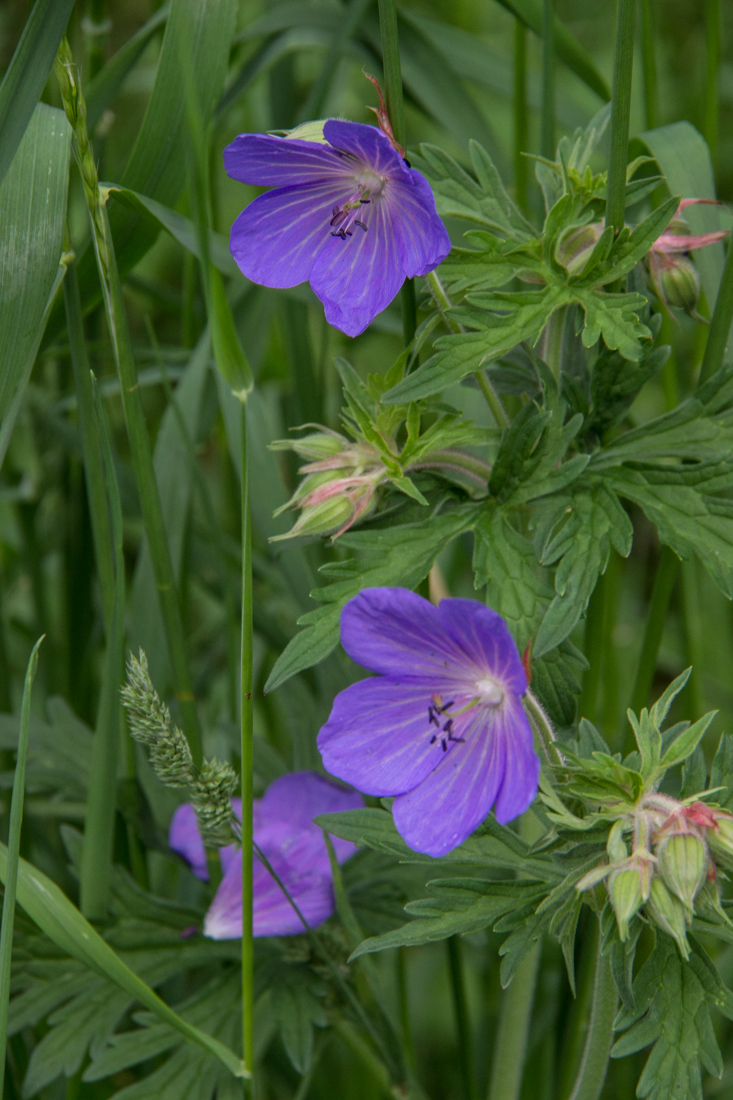 Cranesbill in Stave Hill Ecology Park