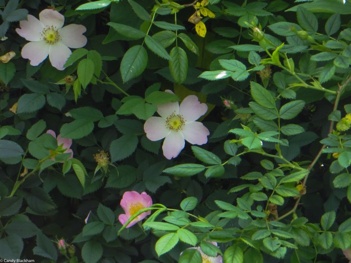 And Rosa Canina in the hedge