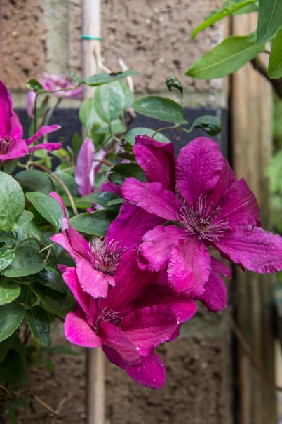 Winterton House, Clematis