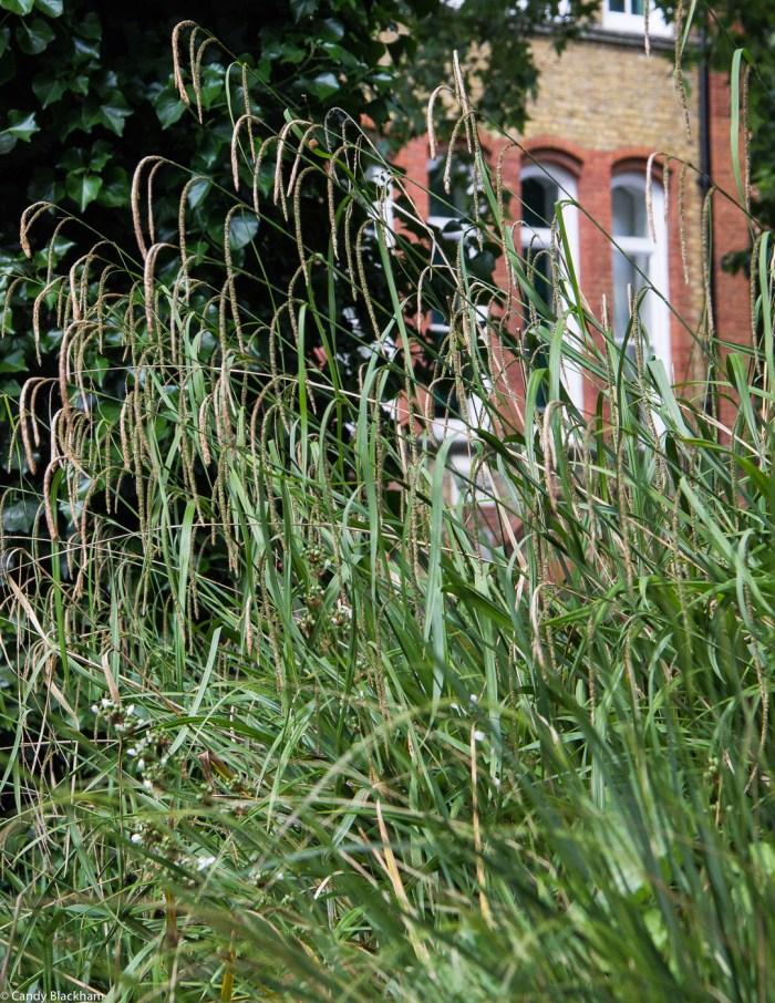 Carex Pendula at Arnold Circus