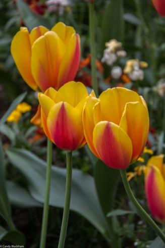 Gorgeous tulips!