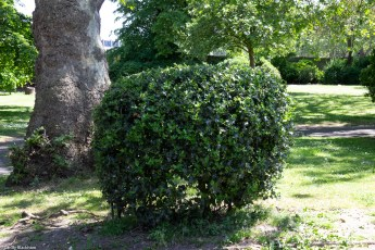 Holly Bush in Sayes Court Park