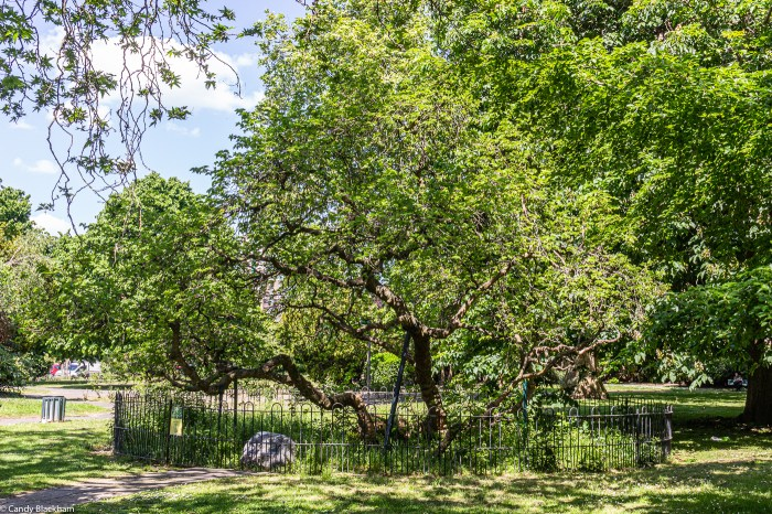 The Mulberry Tree in Sayes Court Park