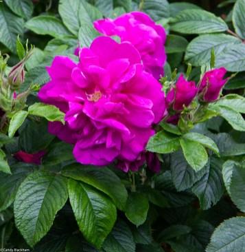 Roses and shrubs on Barfleur Lane