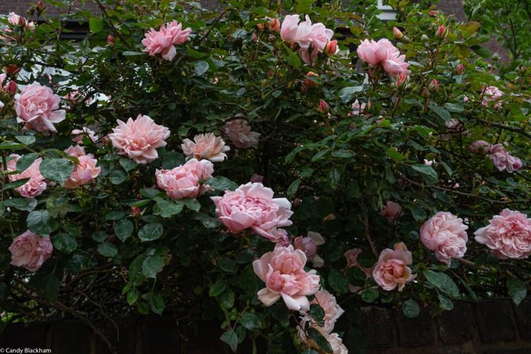 Albertine Rose, Lower Pepys Parks