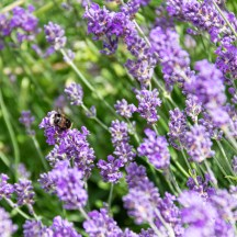 Bees in the lavender