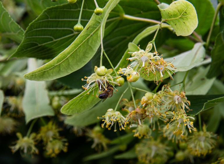 Bees in the Lime Tree