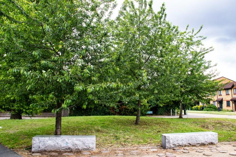 Cherry Trees in Margaret McMillan Park
