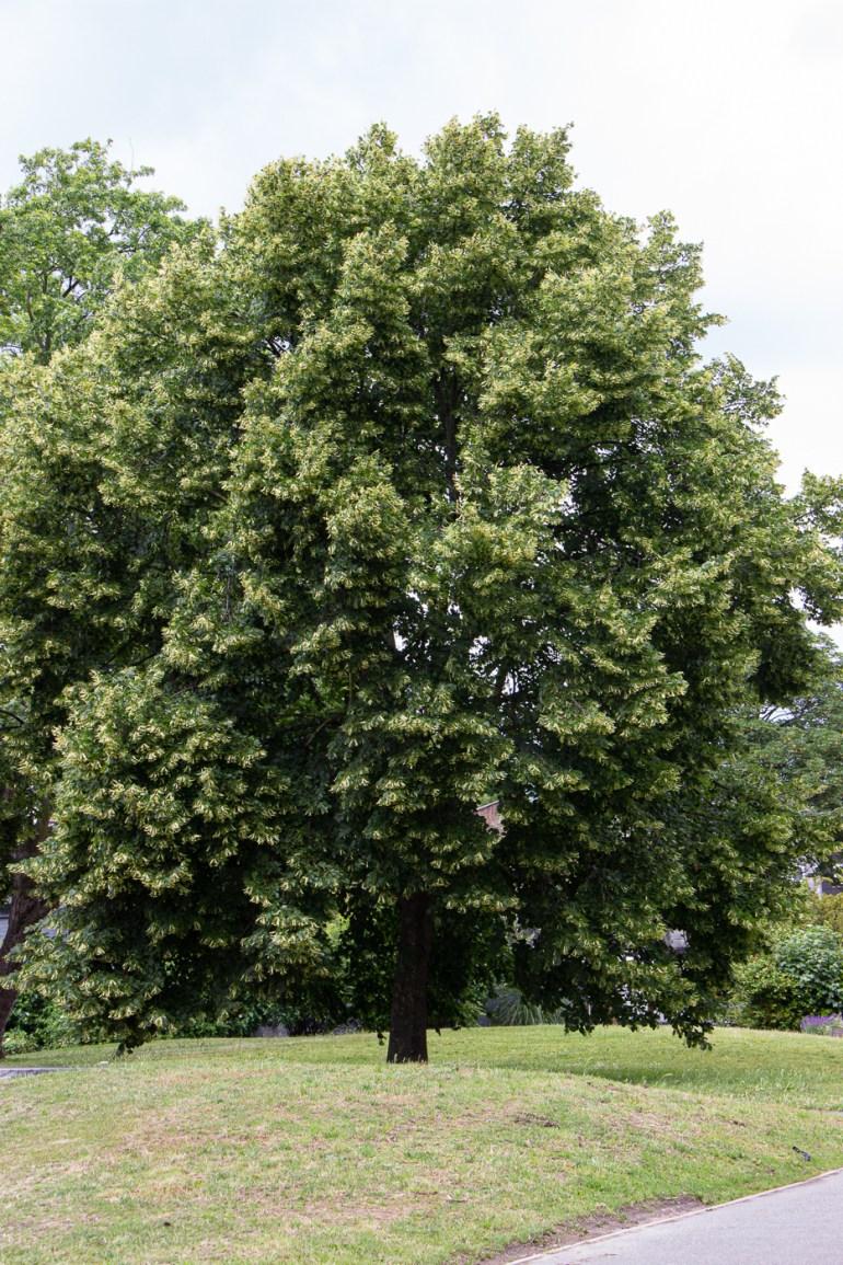 Lime Tree in Margaret McMillan Park