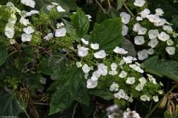 Oak Leaf Hydrangea with weeds