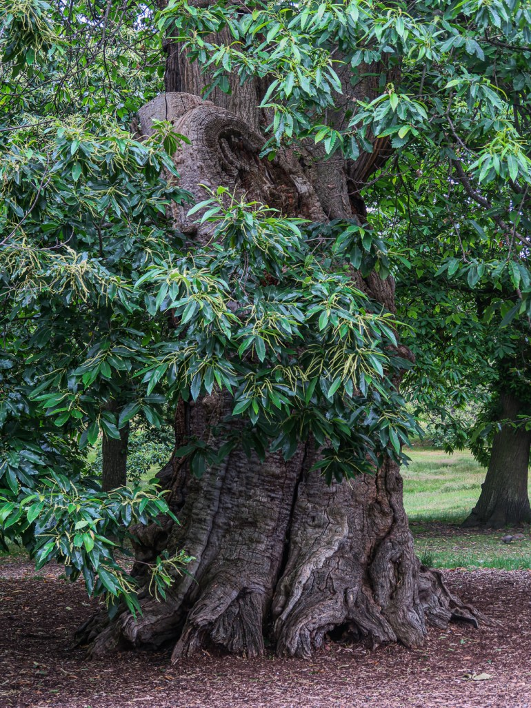 Chestnut tree in Greenwich Park