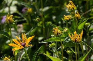 Rudbeckia 'Goldsturm'