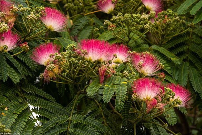 Albizia trees in Hatcham Gardens