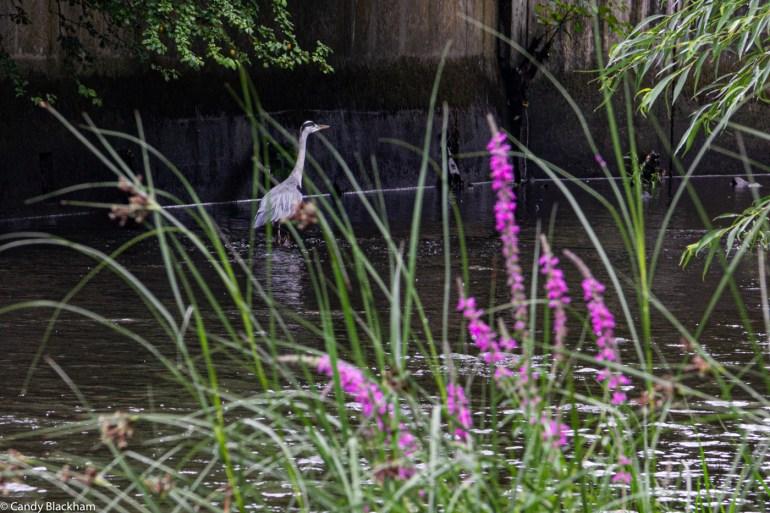 Heron on the River Ravensbourne