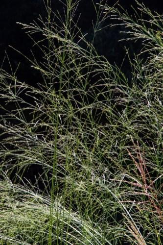 Molinia Caerulia 'Transparent'