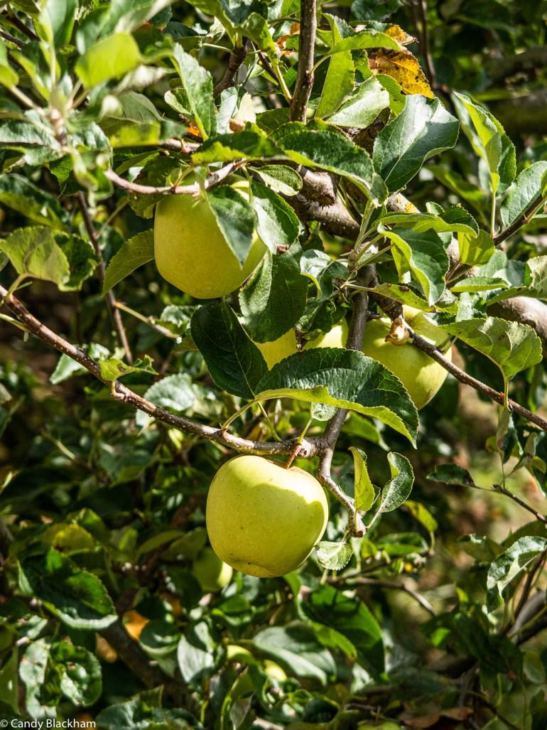 Apples in the Picos de Europa