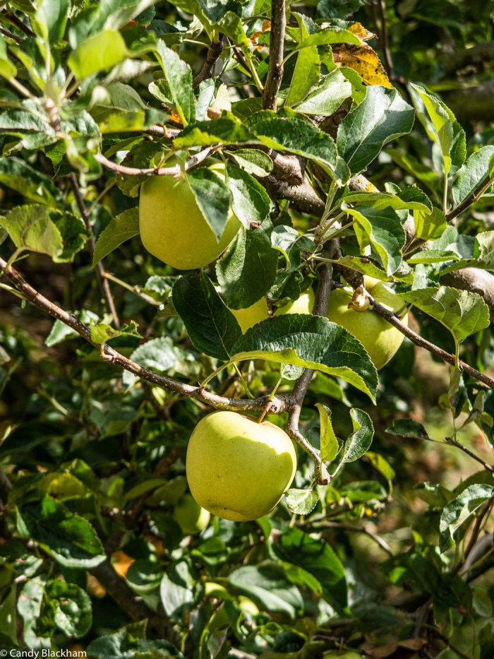 Apples in the Picos de Europa