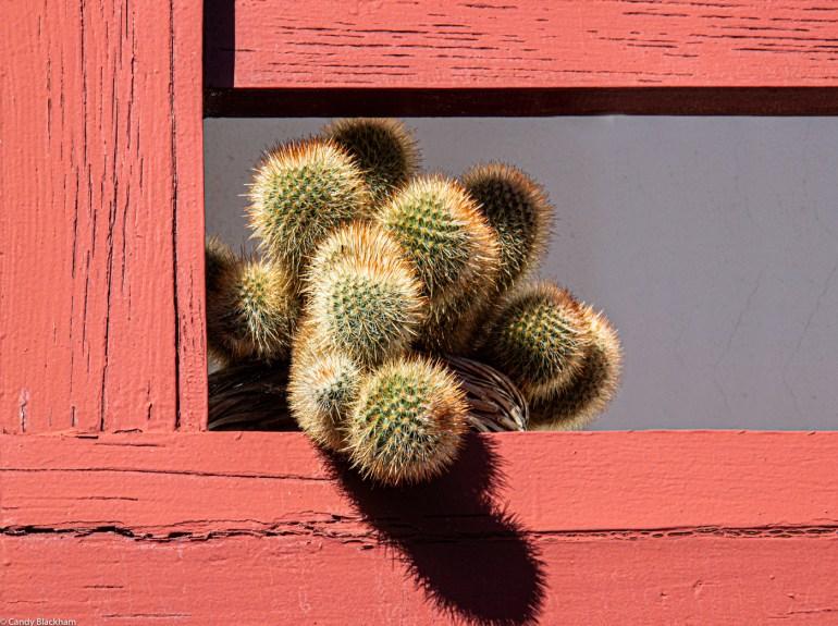 Cactus in Monforte de Lemos
